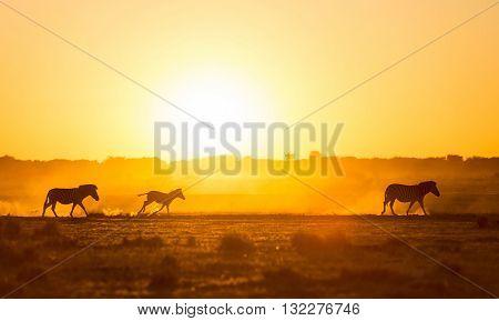 Zebra Family Sunset