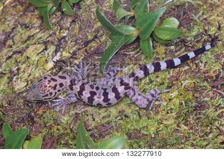 Kinabalu Angle-toed Gecko (Cyrtodactylus baluensis) from Kinabalu National Park.