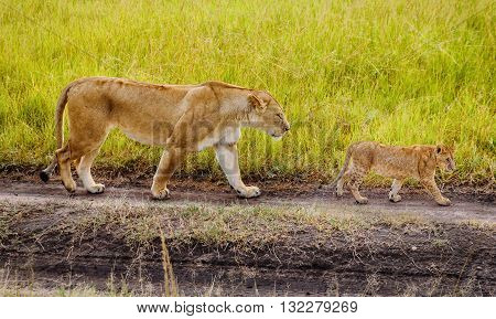 A Mother Lioness with her cubs in Masai Mara reserve Kenya