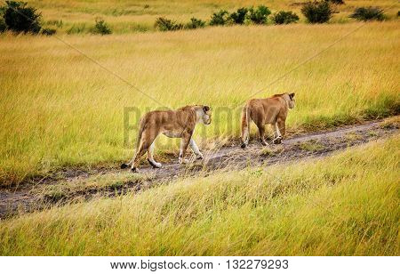 Two Mothers Lioness walking in Masai Mara reserve Kenya