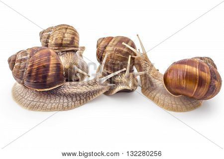 Four garden snails (Helix aspersa) isolated on white background. Teamwork concept