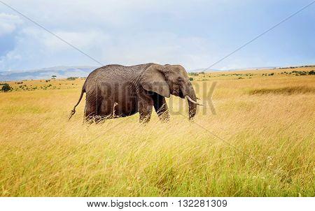 Elephant in Masai Mara resort  in Kenya
