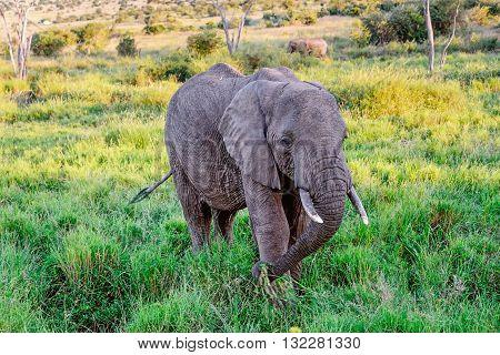 Elephant eating grass in Masai Mara resort Kenya