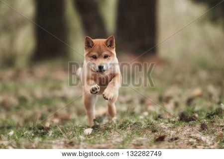 Beautiful Young Red Shiba Inu Puppy Dog Outdoor