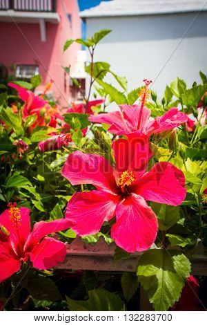 Vibrant red hibiscus in a garden on St Georges in Bermuda.
