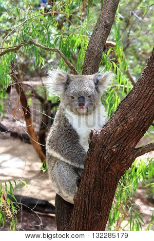 Koala resting on a tree branch enjoying a moment of relaxation