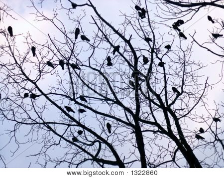 Crows (3)
