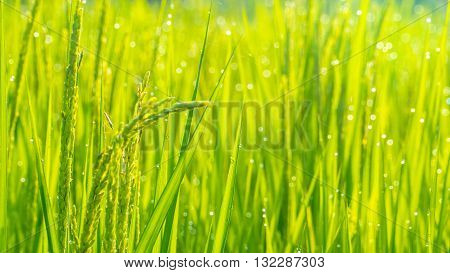 Close Up Of Green Paddy Rice. Green Ear Of Rice In Paddy Rice Field Under Sunrise
