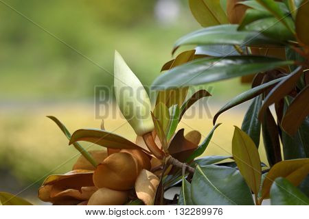 Magnolia tree flower ready to bloom background.