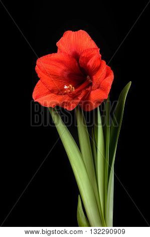 amaryllis red flower on a black background