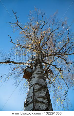 high birch, rushing his crown in the sky