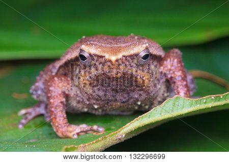 Kinabalu Sticky Frog (Kalophrynus baluensis) from Kinabalu National Park.