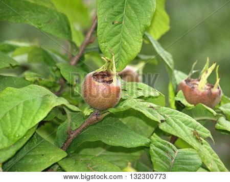 medlar fruit on a tree in early autumn