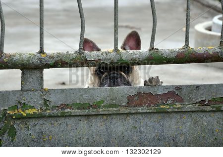 Puppy pug with sad eyes and raised its paw looking through a rusty metal fence.