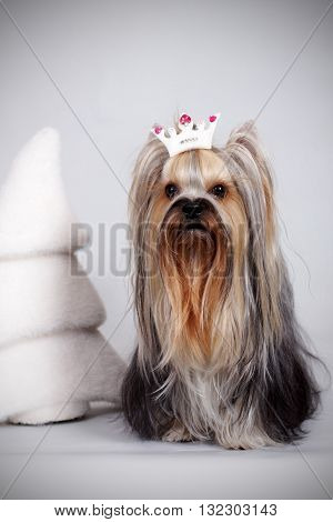decorative dog Yorkshire Terrier sitting in the crown next to the Christmas tree