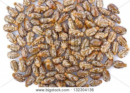 Castor seeds on white background nature oil