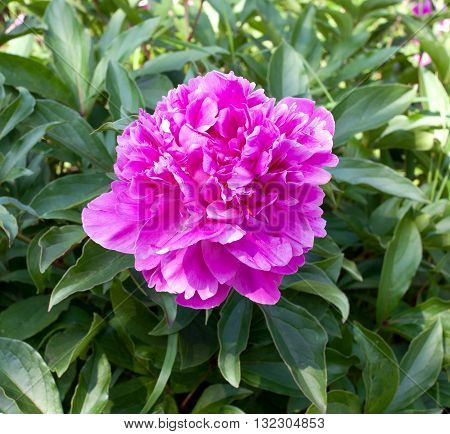 Flower pink dendritic peony in a public botanical garden in the city of Krivoy Rog in Ukraine