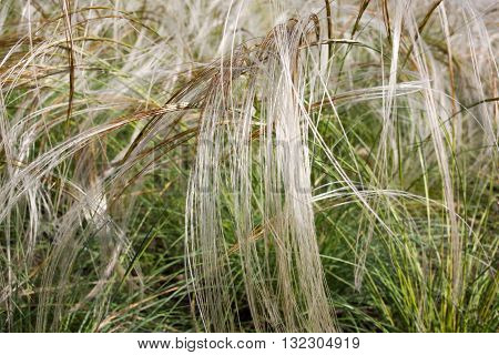 Feather grass in a public botanical garden in the city of Krivoy Rog in Ukraine