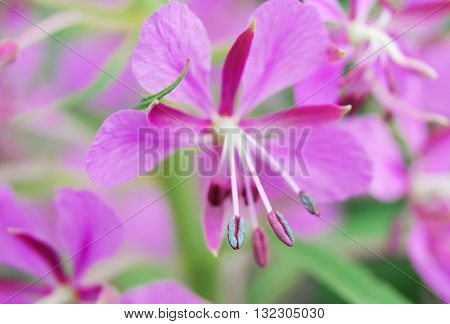 The flower with the pollen of fireweed (Epilobium angustifolium) close-up