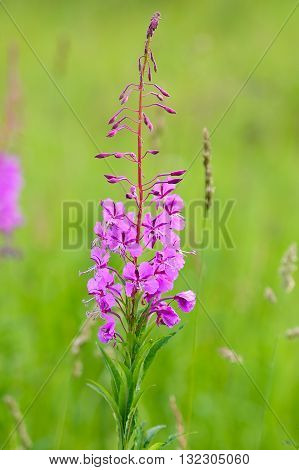 Blooming fireweed (Epilobium angustifolium) in the meadow