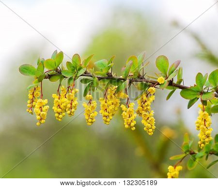 Branch of a blossoming barberry in the spring (Berberis)