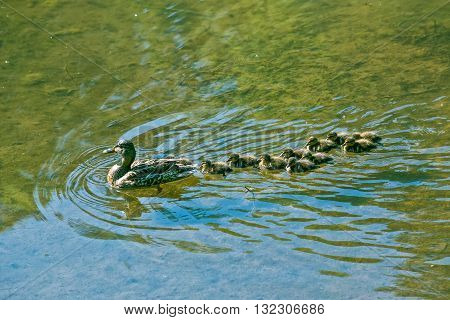 Mallard Mother Duck with her Ducklings on a lake