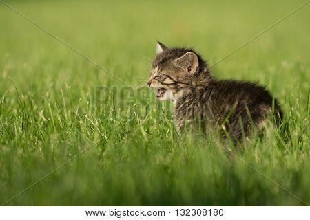 Cute Tabby Kitten In Grass
