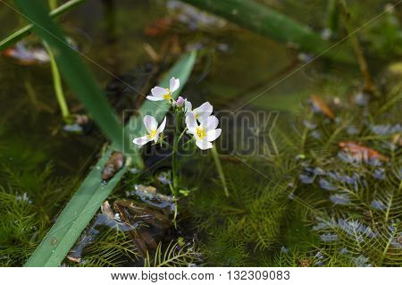 Flowers of water violet or featherfoil (Hottonia palustris) a water plant used in alternative medicine.