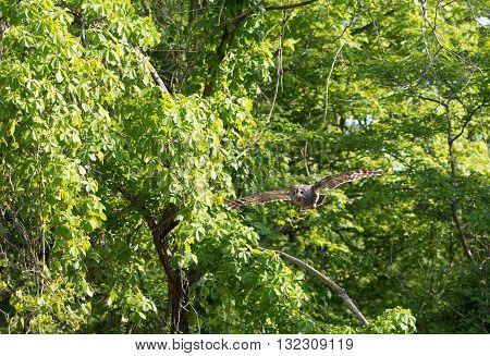 Barred Owl In Flight In The Woods