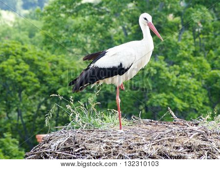 Stork on the roof pursed his paw
