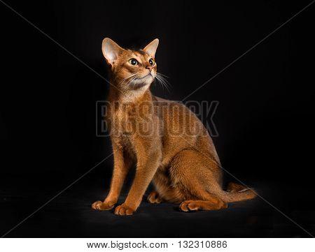 Purebred Somali Cat Isolated On Black Background