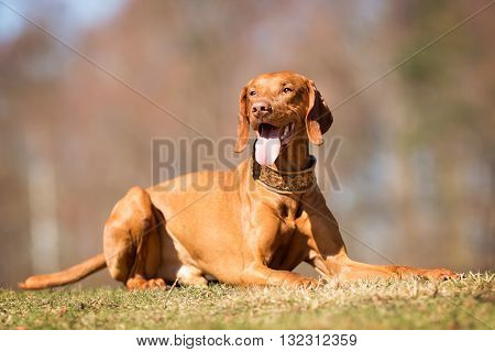 Vizsla Dog Outdoors In Nature