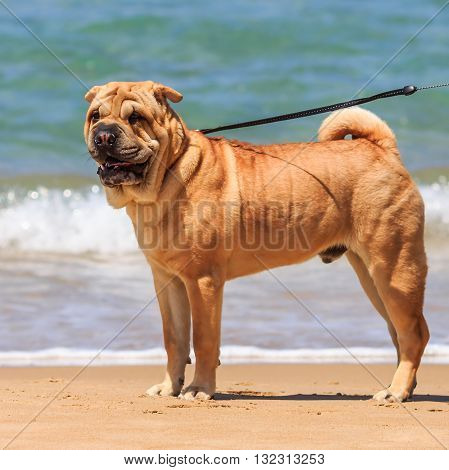 Very nice shar pei for a walk at the sea