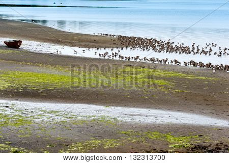 A colony of migratory beach birds in Curaco de Velez Chiloe Island Chile