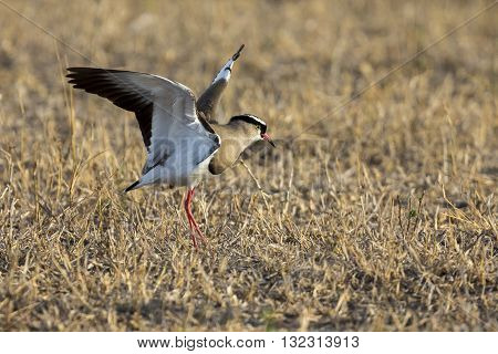 Crowned plover walking on short grass looking for insets to eat