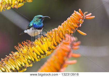 White-bellied Sunbird looking for nectar in yellow aloe flowers