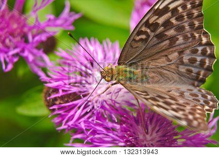 Butterfly large forest fritillary (Argynnis paphia) - female on a flower of cornflower meadow