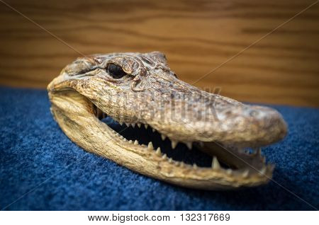 Small dried preserved crocodile head on blue surface