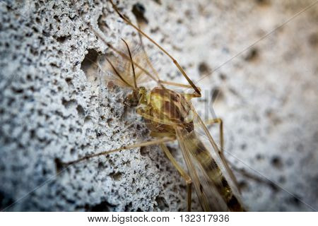 Close up macro of small sand fly gnat on cement wall