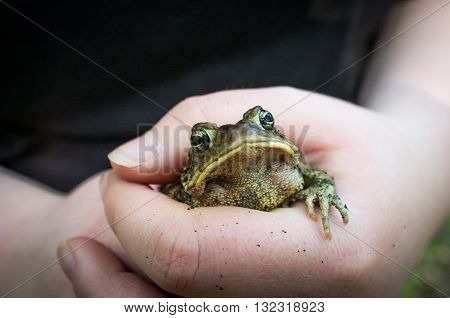 Gentle hands hold captive grumpy Eastern American toad