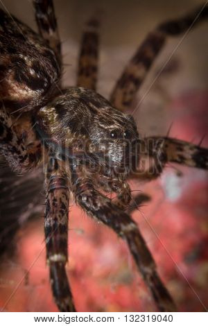 Extreme close up macro shot of a large wolf spider