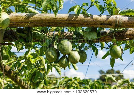 Passion Fruits On The Vine