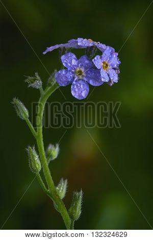Macro Myosotis palustris flower on a green background