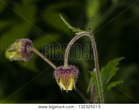 Water avens geum rivale fluffy flowers on stem macro with blurred background selective focus shallow DOF