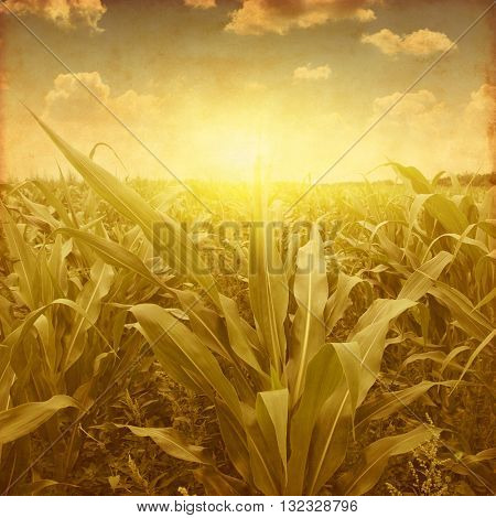 Corn field at sunset in grunge and retro style.