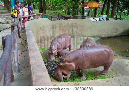 CHIANG MAI, THAILAND - JANUARY 16, 2014: Tourists watch the feeding of hippos in Chiang Mai