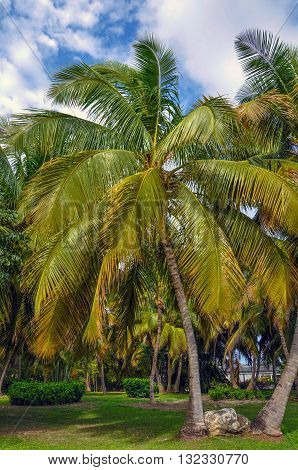 Green tropical palm trees, landscaping of Dominican Republic