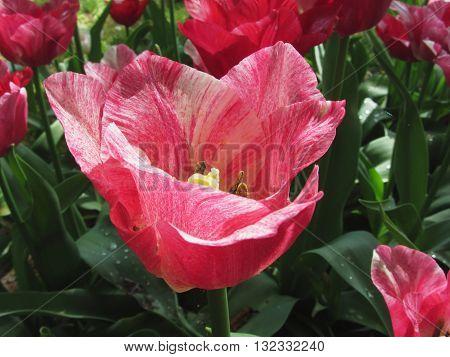 Closeup of streaked tulip in spring .