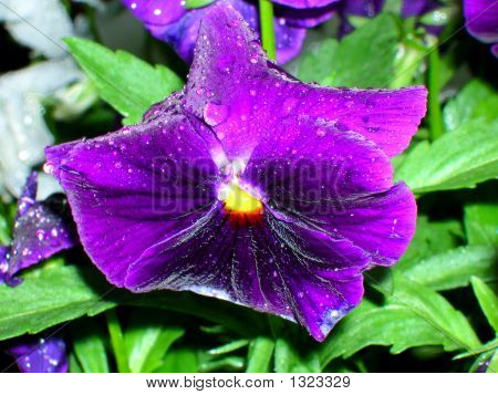 Brillant Purple Pansy