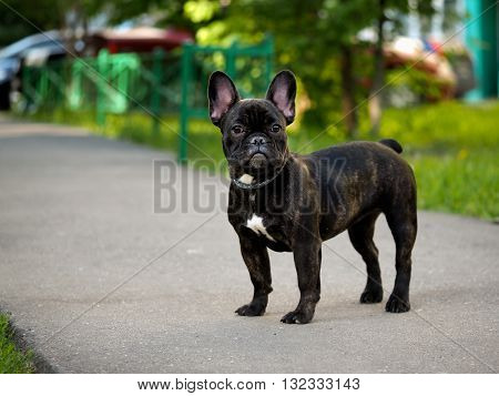 French bulldog puppy for a walk. The path in the park, green trees and grass. Summer. Dog collar